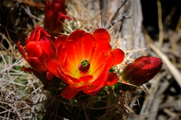 Cactus flower in bloom at Joshua Tree National Park