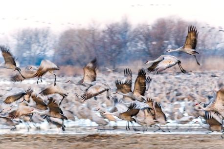 Sandhill cranes, Rowe Sancturary 7D