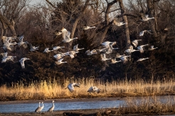 Sandhill Cranes leave the Platte River at sunrise near Gibbon, Nebraska.