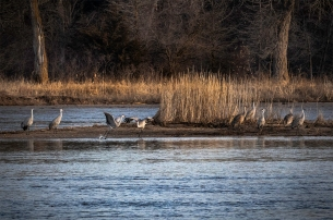 Sandhill Cranes roost and dance on a sandbar in the Platte River near Gibbon, Nebraska.