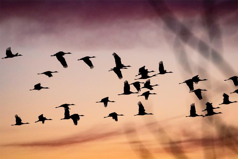 Crane migration nears peak alongPlatte