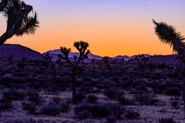 Joshua trees at sunset at Joshua Tree National Park
