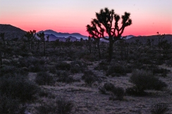 Joshua trees at sunset at Joshua Tree National Park.