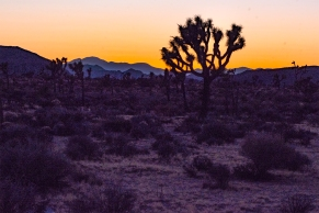 Joshua trees at sunset at Joshua Tree National Park, April, 2018.