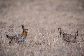 Prairie Chickens strut and dance on a lek or mating area at Calamus Outfitters near Calamus, NE.