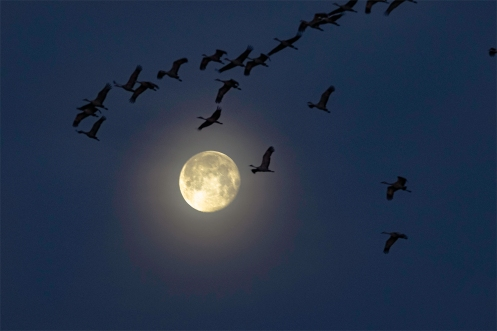 Sandhill Cranes leave the Platte River before sunrise by the light of the worm moon near Gibbon, Nebraska.