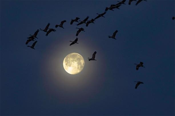 Sandhill Cranes leave the Platte River before sunrise by the light of the worm moon near Gibbon, Nebraska.