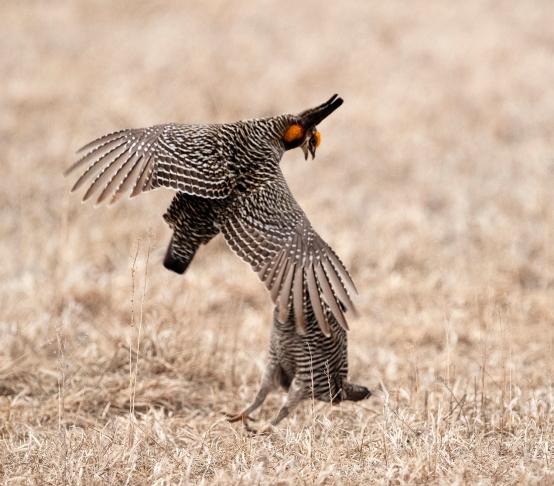 Male Prairie Chickens challenge each other to establish dominance.