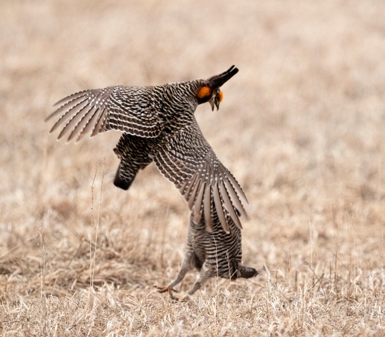 Male Prairie Chickens challenge each other to establish dominance.