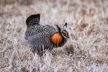 A male prairie chicken makes use of the bellows-like orange patches on his neck to create a booming sound to entice a hen.