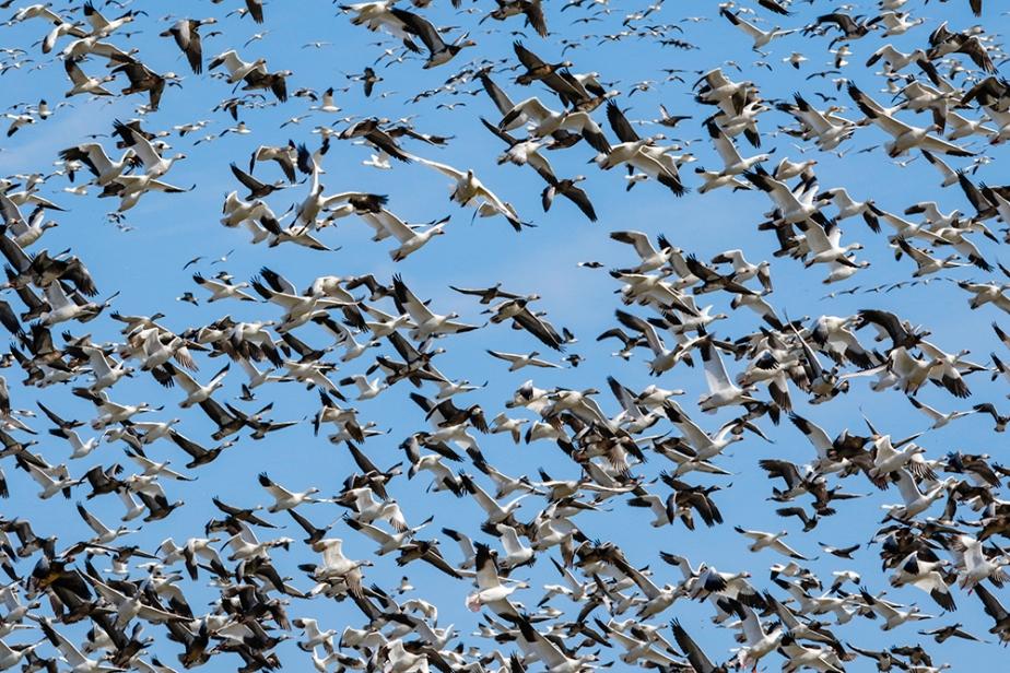 Snow geese at DeSoto