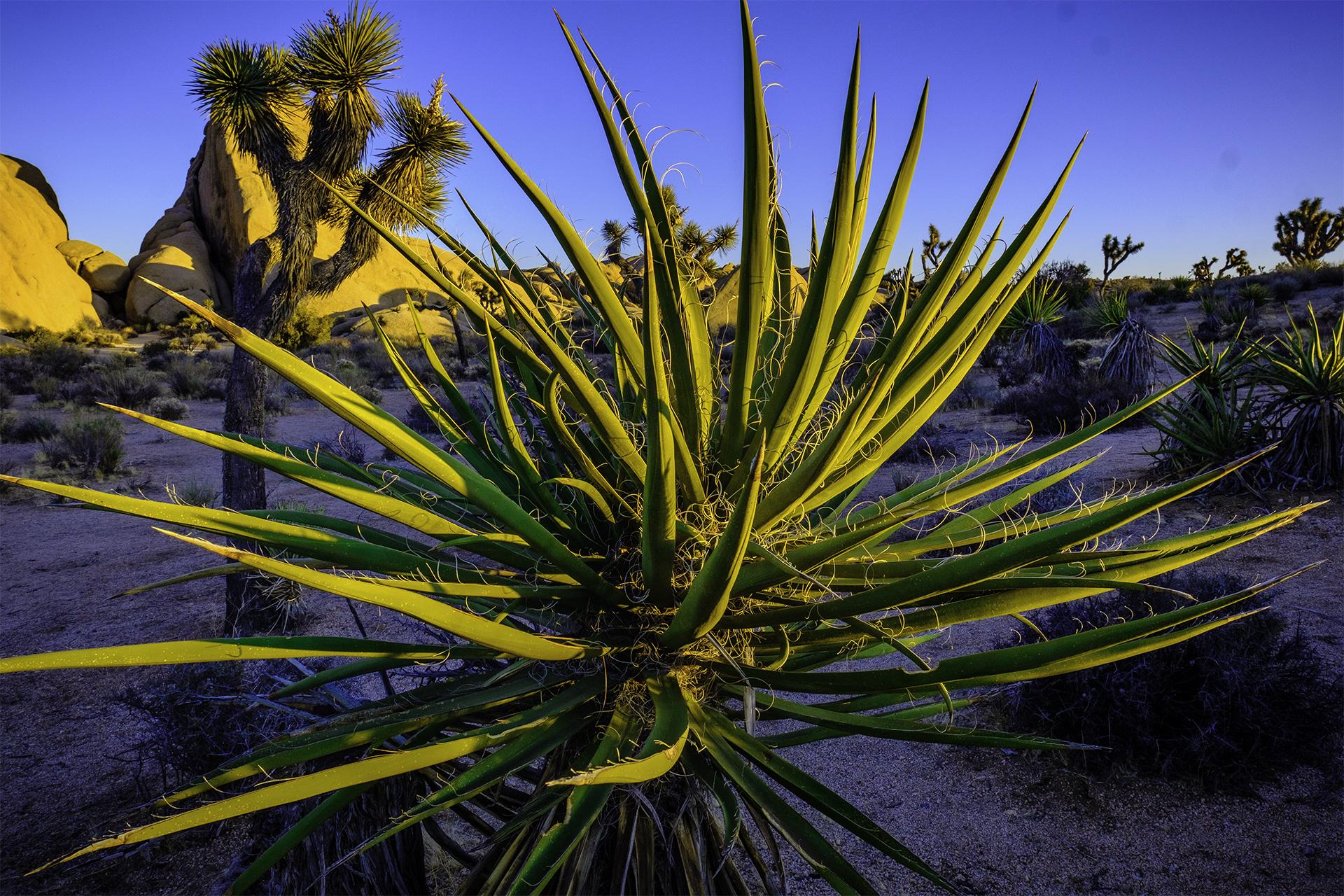 Succulent and Joshua trees at Joshua Tree National Park