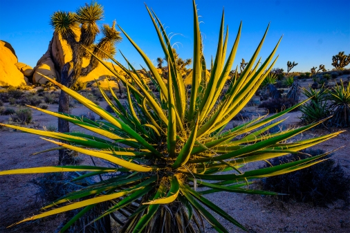 Succulent and Joshua trees at Joshua Tree National Park