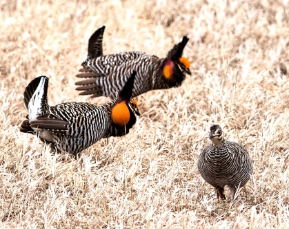 Prairie Chickens strut and dance to get the attention of a passing female.