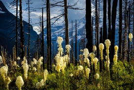 Bear Grass blooms among burned timbers along Going to the Sun Road.