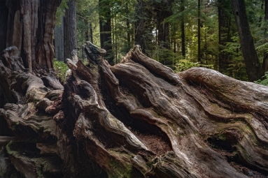 Fallen tree in the Ho rain Forest, Olympic National Park.