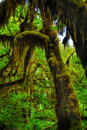 Hall of Mosses in the Ho Rain Forest, Olympic National Park.