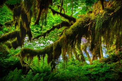 Ho Rain Forest, Olympic National Park.