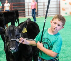 Brock Lauritsen competes in the Sammental division in the Beef Show Monday.