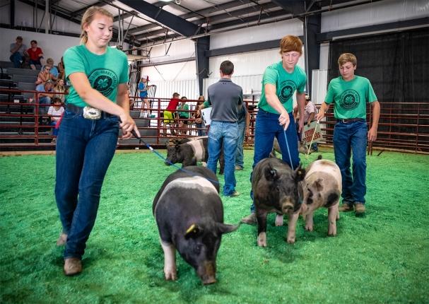 From left Jayden Henton, Bryan Camenzind, and Walker Behnken show hogs in Round Robin competition.