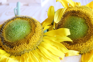 Sun flower entry awaits judging in the open competition Saturday.