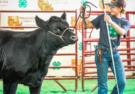 Tyler Thompson shows his market steer at the WCF Livestock Auction Wednesday.