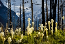 Northwest Adventure travel series. Bear Grass in bloom along Going to the Sun Road in Glacier National Park.