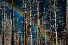 A Rainbow appears through the trees along Going to the Sun Road in Glacier National Park.