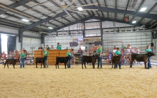 4-H contestants show bucket calves at the Beef Show.