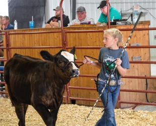 Charley Hoier walks her Simental heifer at the beef show.