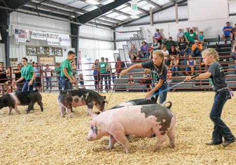From let Ruby Booth, Mason Stoddard, Laney Hoier and Charley Hoier run their pigs in Intermediate Showmanship Class at the Hog Show Tuesday.