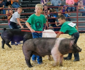 Left to right Melanie Gondinger, Grady Grabbe, and Isaiah Rauert show their pigs in Junior Showmanship competition Tuesday.