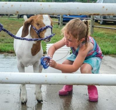 Katelyn Hilgenkamp cleans her goat in preparation for the goat show.