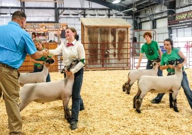 Sheep judge recognizes Kendra Loseke as Champion Market Wether ribbon winner.