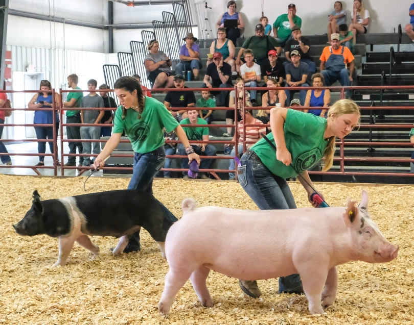 Ella Booth and Hannah Mackey show pigs in Senior Showmanship competition Tuesday.