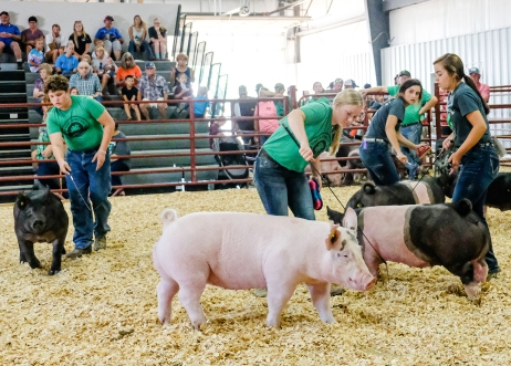 From left, Cole Booth, Hannah Mackie, Miley Sheets Maggie Sheets and Ella Booth, and run pigs in Senior Showmanship competition.