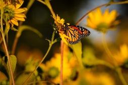 Sunflowers at Sundown, Desoto NWR