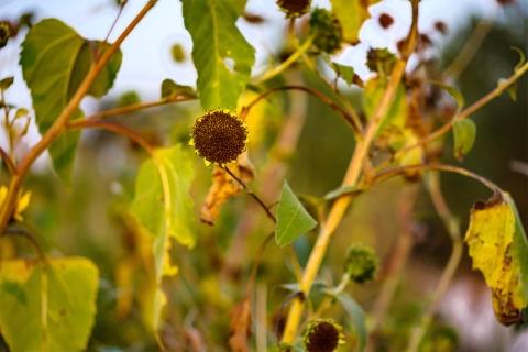 Sunflower plants along trail.