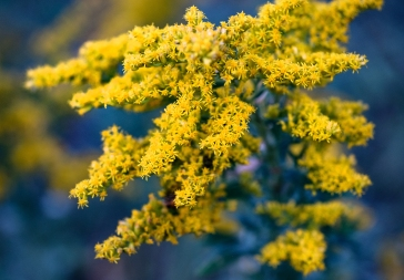 Goldenrod at twilight along the California Bend Trail.