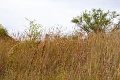 Prairie grasses along trail