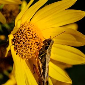 Grasshoper on sunflower along the trail.