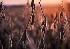 Soybeans at sunset along the California Bend Trail.