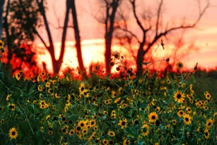 Sunflowers at sundown at Desoto NWR