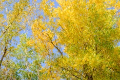 Autumn wind rustles cottonwood leaves.