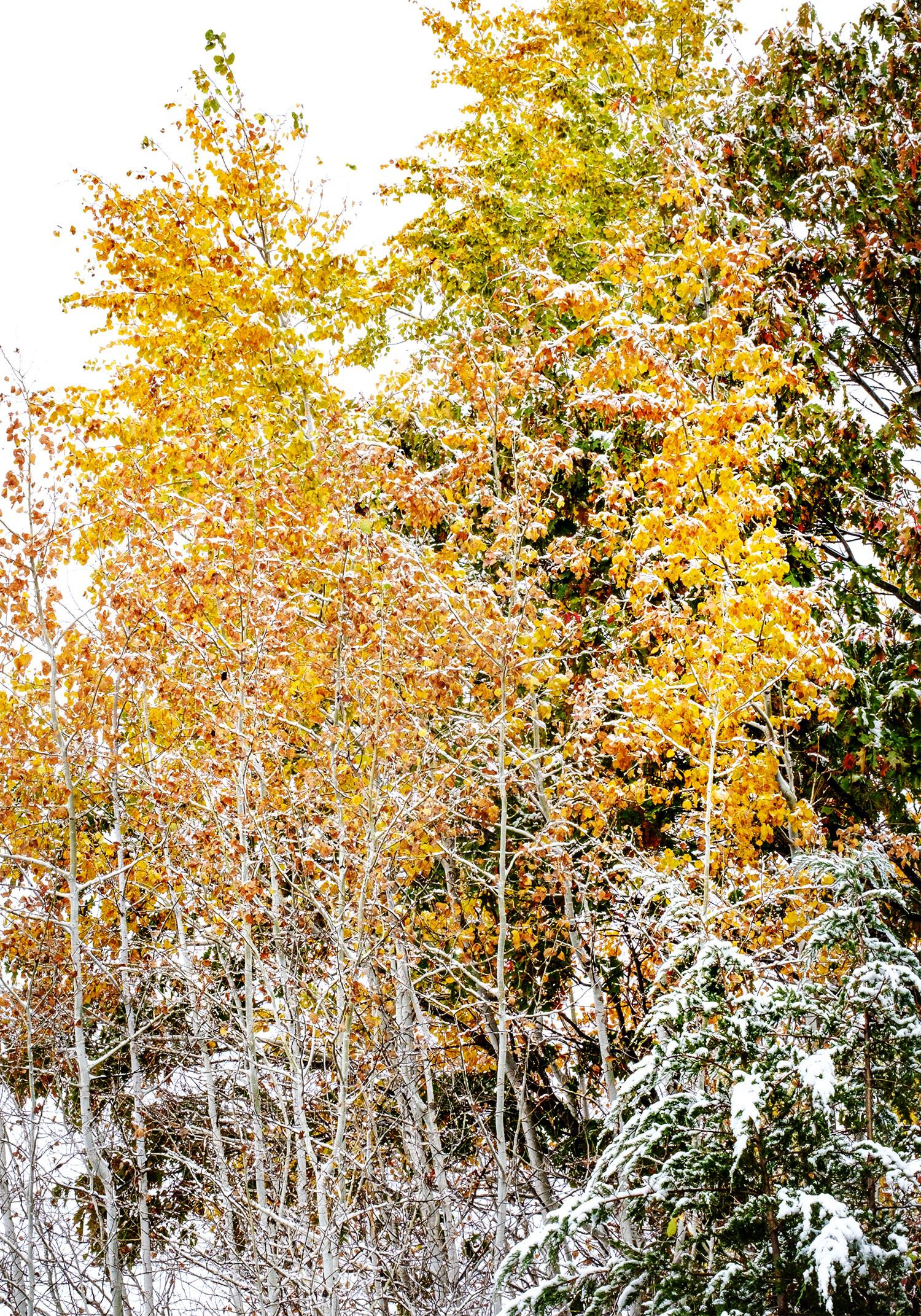 Snow on tree leaves