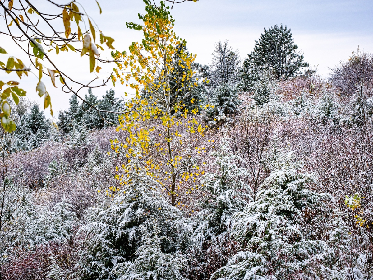 snow covered trees and shrubs