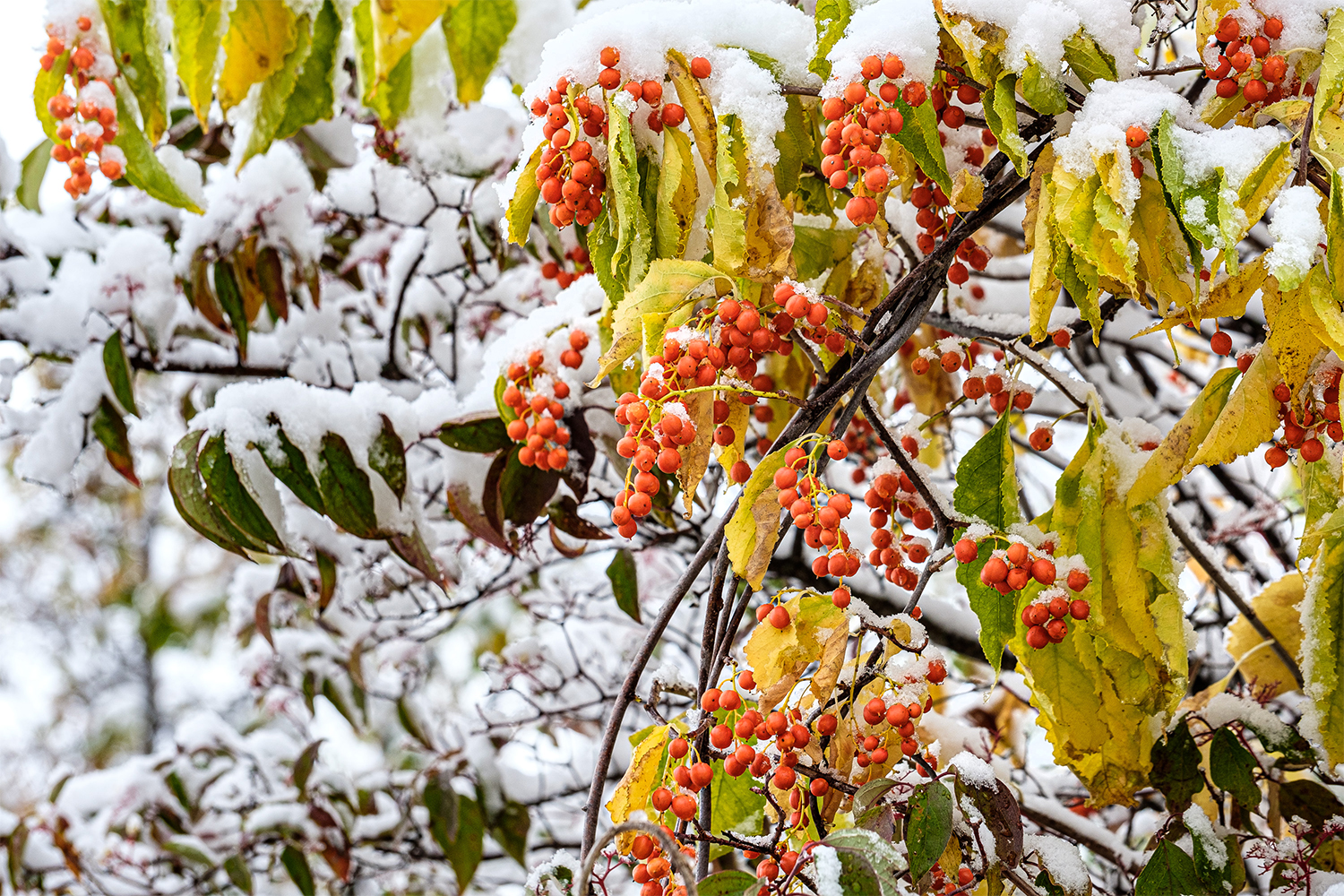 Snow on leaves and berries
